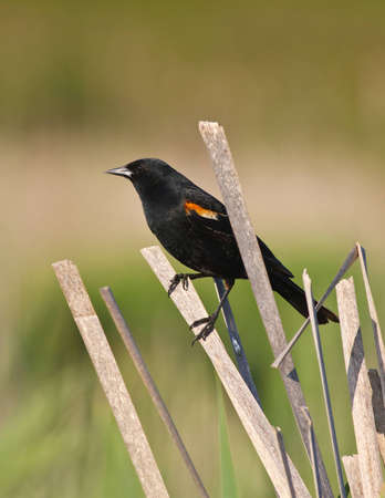 Male red winged blackbird perched on dried cattail reed in the marsh with evening sunlight photo