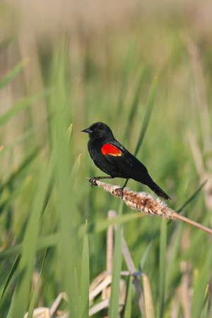 red winged: Male red winged blackbird perched on bent over dried cattail surrounded with new green reeds Stock Photo