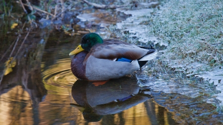 Male mallard duck resting on icy water's edge of a pond Stock Photo - 17895930