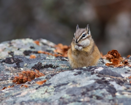 Chipmunk on resting on a rock with a stuffed cheek