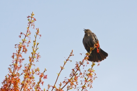 brewers: Female Brewer s Blackbird putting on a display of tail feathers during the Springtime