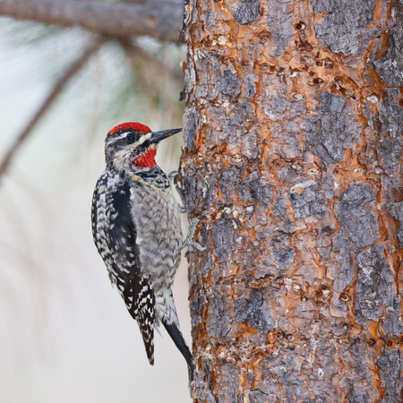 clinging: A closeup view of a woodpecker clinging to the bark of a pine tree  Stock Photo