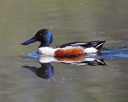 northern shoveler duck: A male Northern Shoveler swimming in calm waters of a pond and showing a reflection   Stock Photo