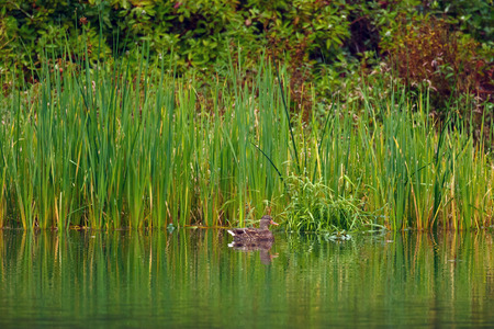 water fowl: Duck relaxing by the cattail reeds near the edge of a pond