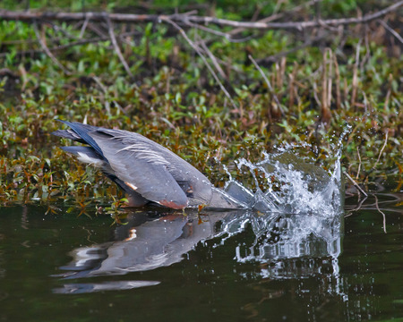 taking the plunge: Great Blue Heron wading in a pond and taking a plunge for food  Stock Photo