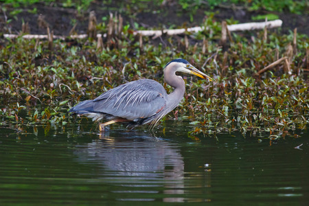 Great Blue Heron with fish while walking along a pond photo