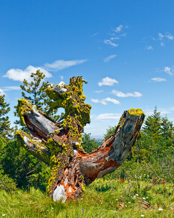 Moss covered rotten stump with distant view surrounded by wildflowers Stock Photo
