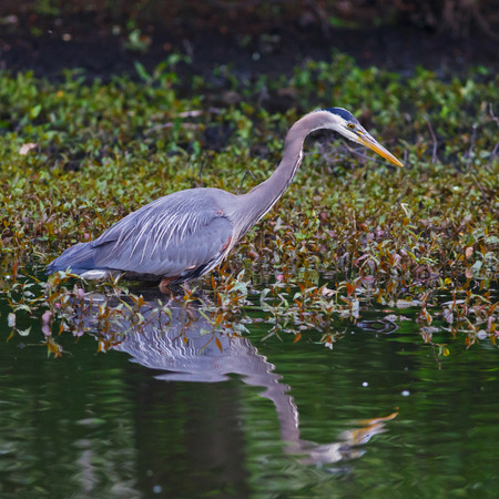 Great Blue Heron wading near the edge of a pond in search of food  photo