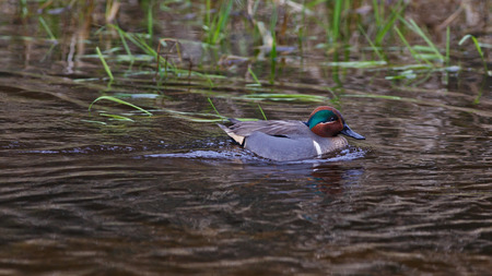 against the flow: Male Green-winged Teal swimming against water flow with green grass blades in background Stock Photo