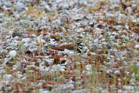 concealment: A Killdeer trying the art of camouflage among small rocks and vegetation