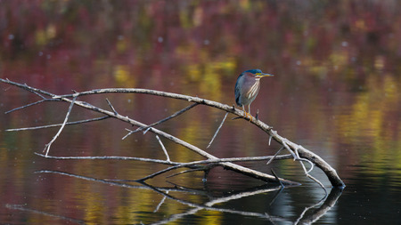 A Green Heron at rest while perched on a branch coming out of the water with colorful reflections photo