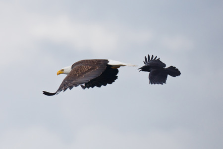 A Bald Eagle being chased by a crow with wings open in flight photo