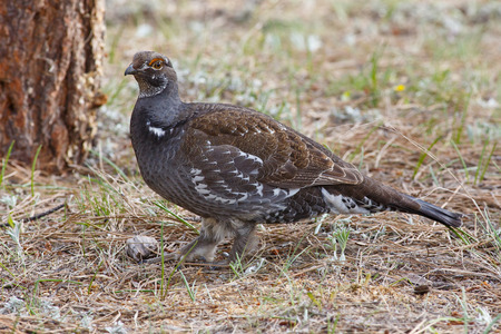 clawed: Blue Grouse with watchful eye showing clawed feet and plumage among pine forest floor