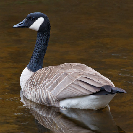 Resting Canada Goose resting on calm waters in a pond