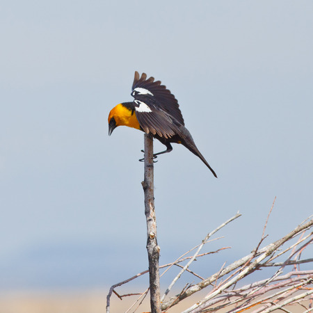 A Yellow-headed Blackbird gripping a dried twig while displaying open wings  Stock Photo