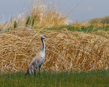 sandhill crane: Sandhill Crane standing tall with a watchful eye in the wetlands