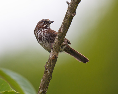 A watchful Song Sparrow perched on a branch wih head turned
