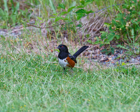 erythrophthalmus: A Rufous-sided Towhee standing in the grass with a watchful eye