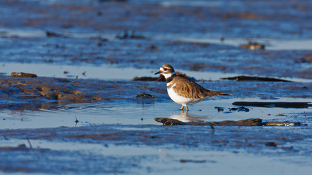 A Killdeer wading in a small tidal pool with ripples