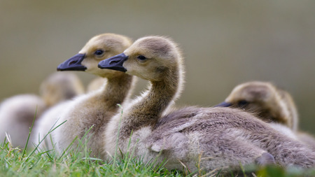 canadensis: Baby goslings resting peacefully by some green grass