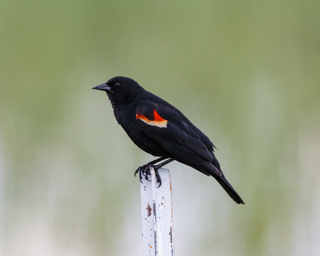 fence post: A male Redwinged Blackbird perched on a metal fence post showing plumage detail.