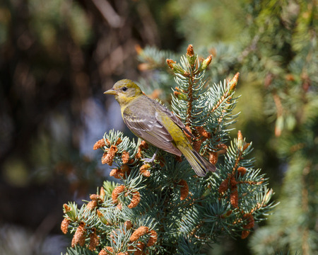 watchful: A female Western Tanager resting on a conifer tree branch with a watchful eye. Stock Photo