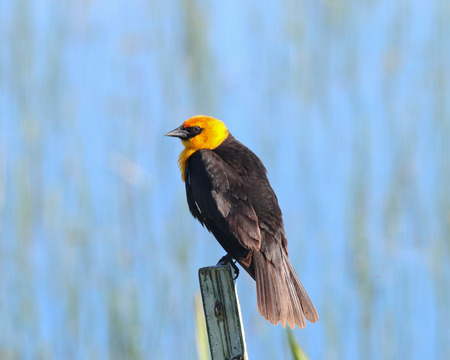 fencepost: A Yellowheaded Blackbird resting on the top of a metal fencepost. Stock Photo