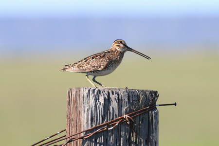 fencepost: A Common Snipe resting on the top of a wooden fencepost. Stock Photo
