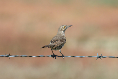 watchful: A Sage Thrasher resting on a barbed wire with a watchful eye.