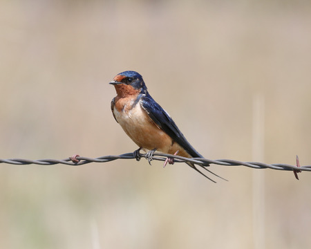 watchful: A single Barn Swallow perched on barbed wire with a watchful eye.