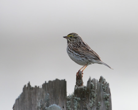 watchful: A Savannah Sparrow at rest on top of a wooden post with a watchful eye.