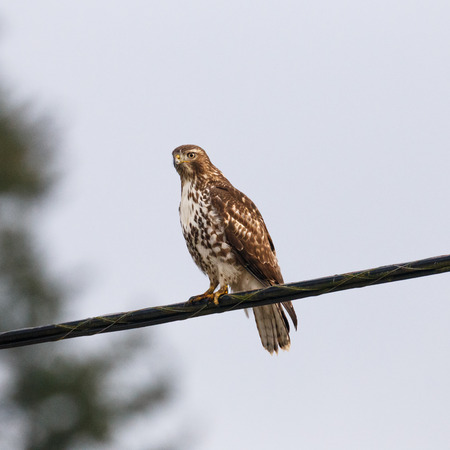 watchful: A hawk with a watchful eye perched on a wire. Stock Photo