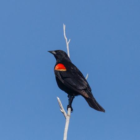 Male Red-winged Blackbird gripping a dry branch with blue sky background.