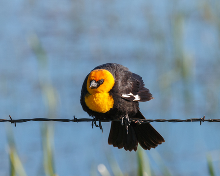 Yellow-headed Blackbird with an intense look while perched on a barbed wire.
