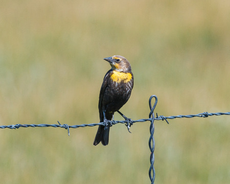 wire fence: Yellow-headed Blackbird resting on a barbed wire fence with head turned. Stock Photo
