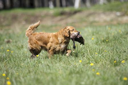 trials: Retriever gundog trials, British Columbia, Canada   Photo: Peter Llewellyn Stock Photo