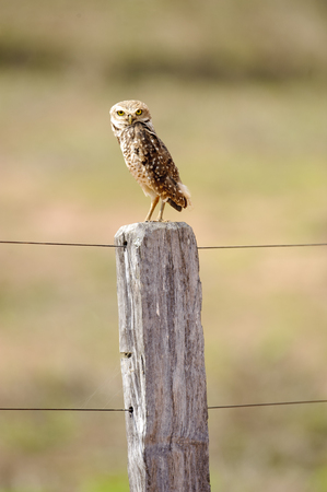 talon: Burrowing Owl Athene cunicularia, perched on fence post, Mato Grosso, Brazil