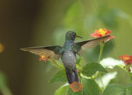bairro: Sapphire-spangled Emerald Hummingbird Amazilia rondoniae, Mangueiras Ranch,  Bairro da Ponte Nova, Sao Paulo, Brazil