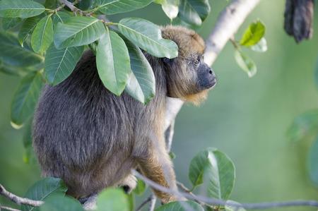 howler: Black Howler Monkey Alouatta caraya female,  The Pantanal, Mato Grosso, Brazil Stock Photo