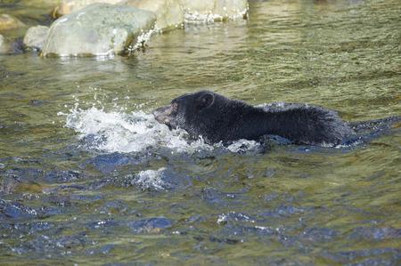 ursus americanus: Black Bear Ursus americanus fishing for salmon, Thornton Fish Hatchery, Ucluelet, British Columbia, Canada