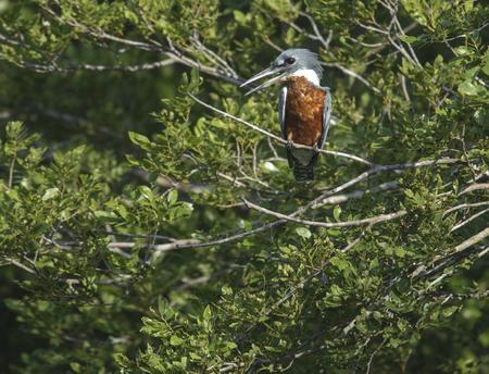 ringed: Ringed Kingfisher Ceryle torquatus, Araras Ecolodge,  Mato Grosso, Brazil