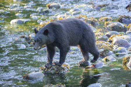 ursus americanus: Black Bear Ursus americanus,   Thornton Creek, Ucluelet , British Columbia, Canada Stock Photo