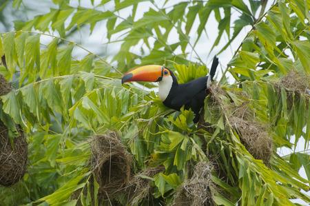 amazonia: Toco Toucan Ramphastos Toco attacking nests ,  Jardim d Amazonia Ecolodge, Mato Grosso, Brazil