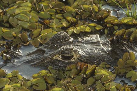 reptilia: Yacare Caiman Caiman yacare, Araras Ecolodge,  Mato Grosso, Brazil
