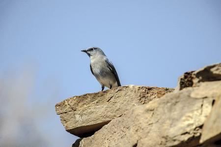 basin mountain: Mountain Bluebird (Sialia currucoides), Sand Wash Basin,  , Colorado, USA