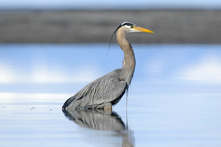 great blue heron: Great Blue Heron (Ardea herodias), Kye Bay, Courtenay, Vancouver Island