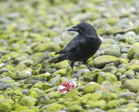 vancouver island: Northwestern Crow (Corvus caurinus) (Also poss. American Crow) feeding on fish,  Vancouver Island, French Creek , British Columbia, Canada