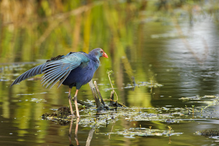 introduced: Purple Swamphen, (Porphyrio porphyrio), an introduced species now endemic in S. Florida,  Wakodahatchee Wetlands, Florida Stock Photo