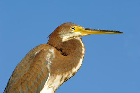 wildlife reserve: Tricolored Heron (Egretta tricolor), close-up of head,  Arthur R Marshall National Wildlife Reserve - Loxahatchee, Florida, USA. Stock Photo