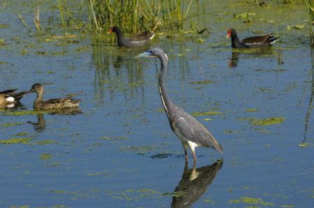 cay: Tricolored Heron (Egretta tricolor),  Green Cay Nature Area, Delray Beach, Florida